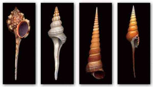 Shell Set (Four Prints) by Harold Feinstein