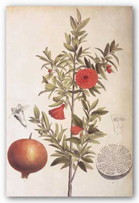 Pomegranate Botanical