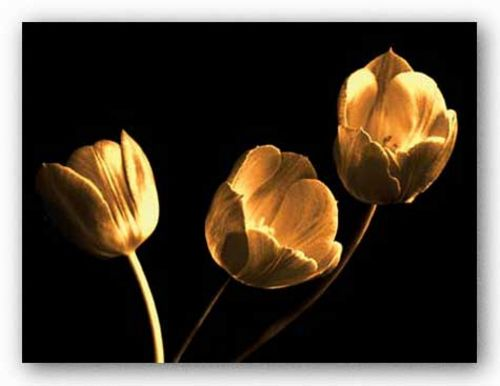 Tulip Trio by Ilona Wellmann