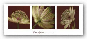 Astrantia on Red Triptych by June Hunter