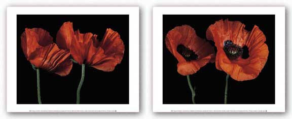 Papaver Orientale Set by Derek Harris