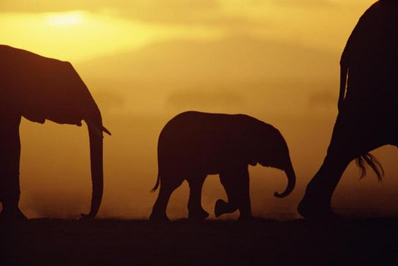 African Elephant herd with calf silhouetted at sunset, endangered, Amboseli National Park, Kenya by Karl Ammann