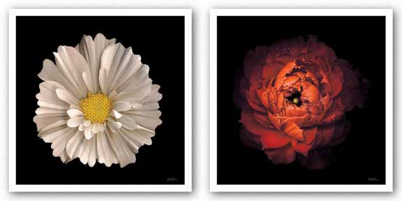 Cosmos 7 and Ranunculus 43 Set by Neil Seth Levine