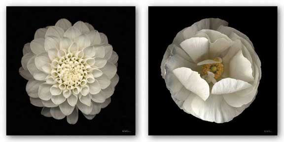 Folded Ranunculus and Dahlia 22 Set by Neil Seth Levine