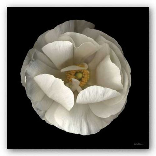 Folded Ranunculus by Neil Seth Levine