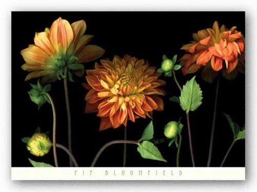 Orange Dahlia Garden by Pip Bloomfield