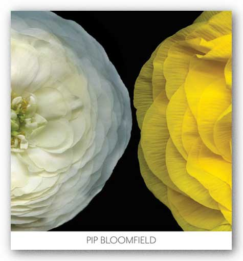 Ranunculus Right by Pip Bloomfield