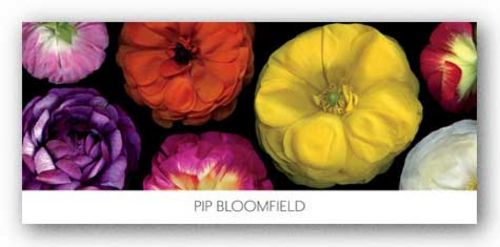 Ranunculus Panorama by Pip Bloomfield