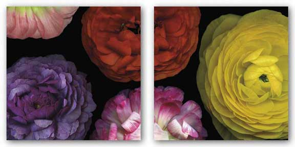 Ranunculus I Set by Pip Bloomfield