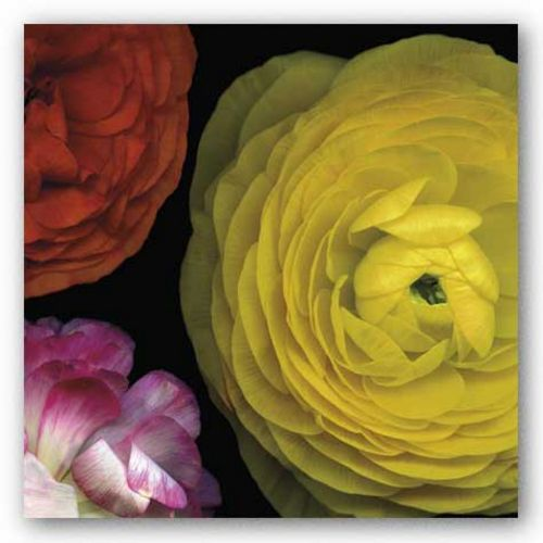 Ranunculus I Right by Pip Bloomfield