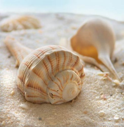 Beachy Shell III by Donna Geissler