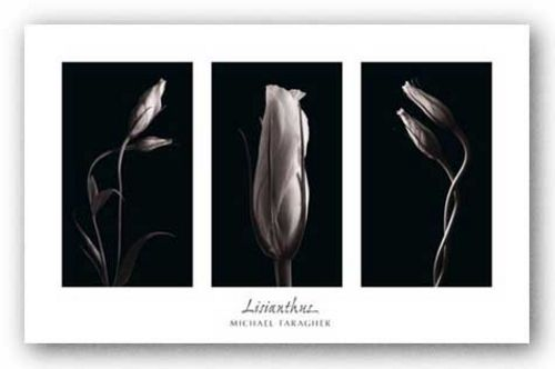 Lisianthus by Michael Faragher