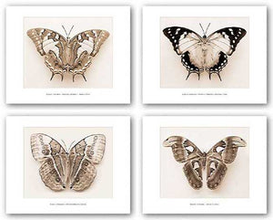 Moth Set (Four Prints) by Raquel Edwards