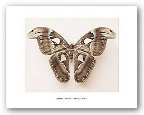 Attacus Atlas by Raquel Edwards