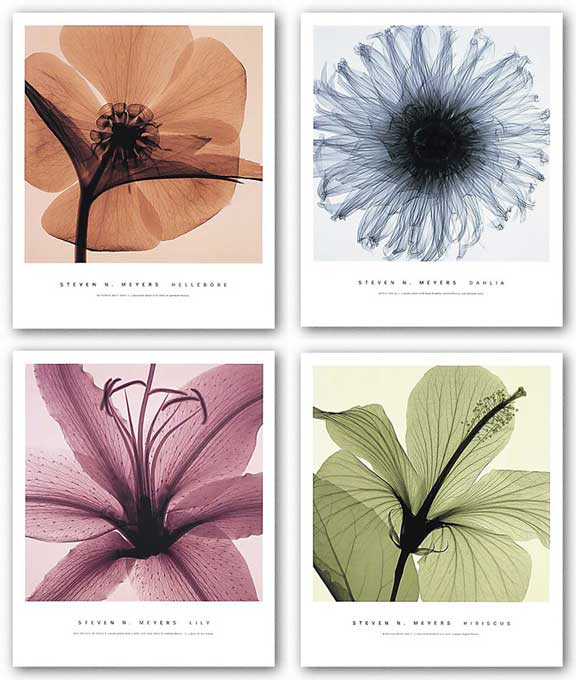 Hibiscus , Hellebore, Dahlia and Lily Set by Steven Meyers