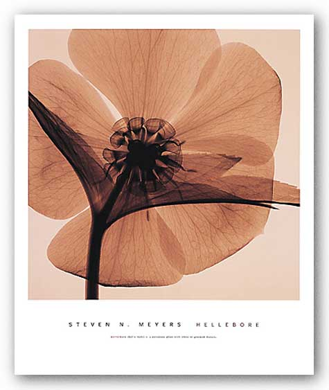 Hellebore  by Steven Meyers