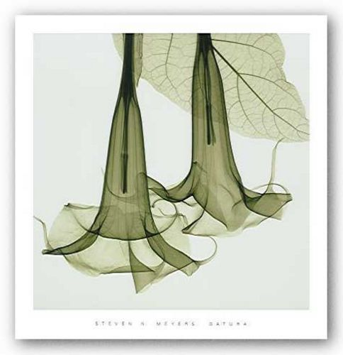 Datura (Brugmansia) by Steven Meyers