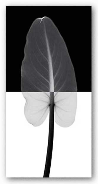 Calla Leaf I by Steven Meyers