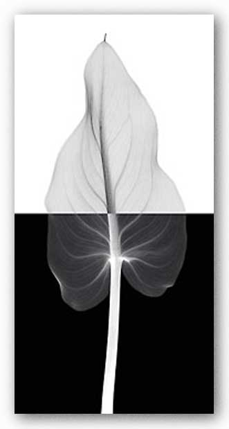Calla Leaf II by Steven Meyers