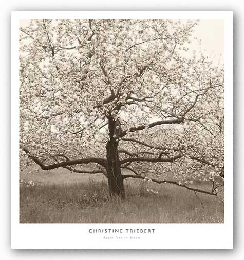 Apple Tree in Bloom by Christine Triebert