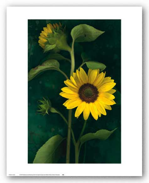 Two Sunflower Stems by Christina Flokowski