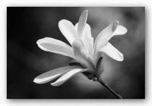 Magnolia Dreams II by Geyman Vitaly