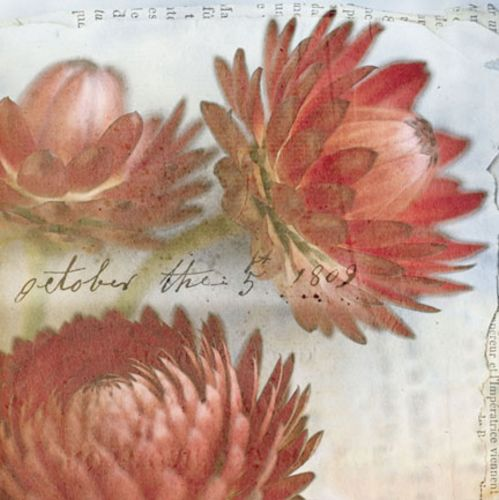 Red Strawflower I by Thea Schrack