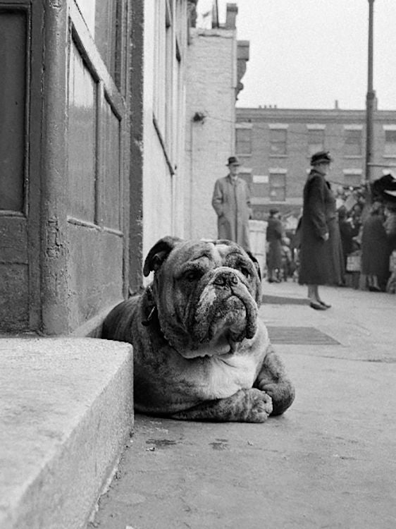 Lazy Bulldog at Camden Town by John Gay
