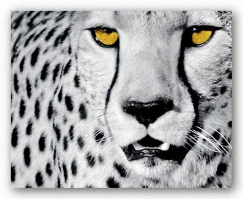 White Cheetah by Rocco Sette