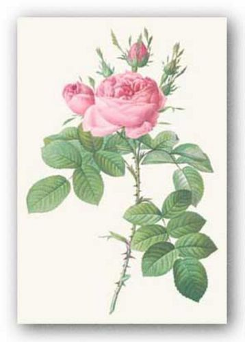 Rosa Bifera Officinalis by Pierre Redoute