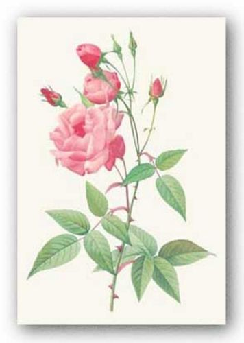 Rosa Indica Vulgaris by Pierre Redoute