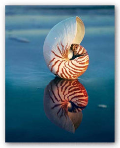 Tiger Nautilus by Ruth Burke