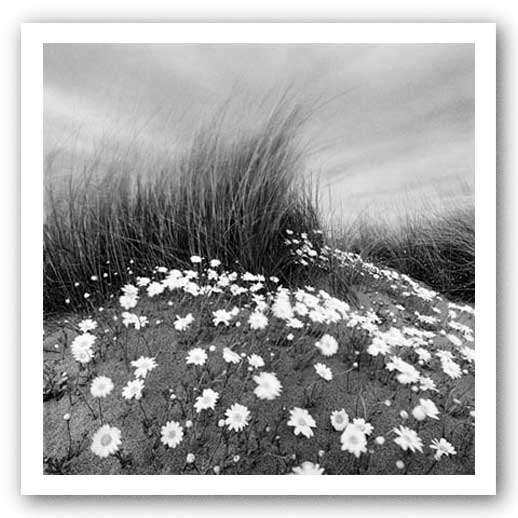 Sand Daisies by Chip Forelli