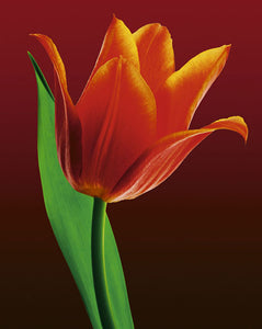Tulip on Red