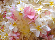 Fresh frangipanis collected and ready to be made into our Hawaiian Flower Lei perfume