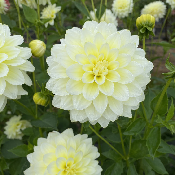 Lemon Drops Dahlia
