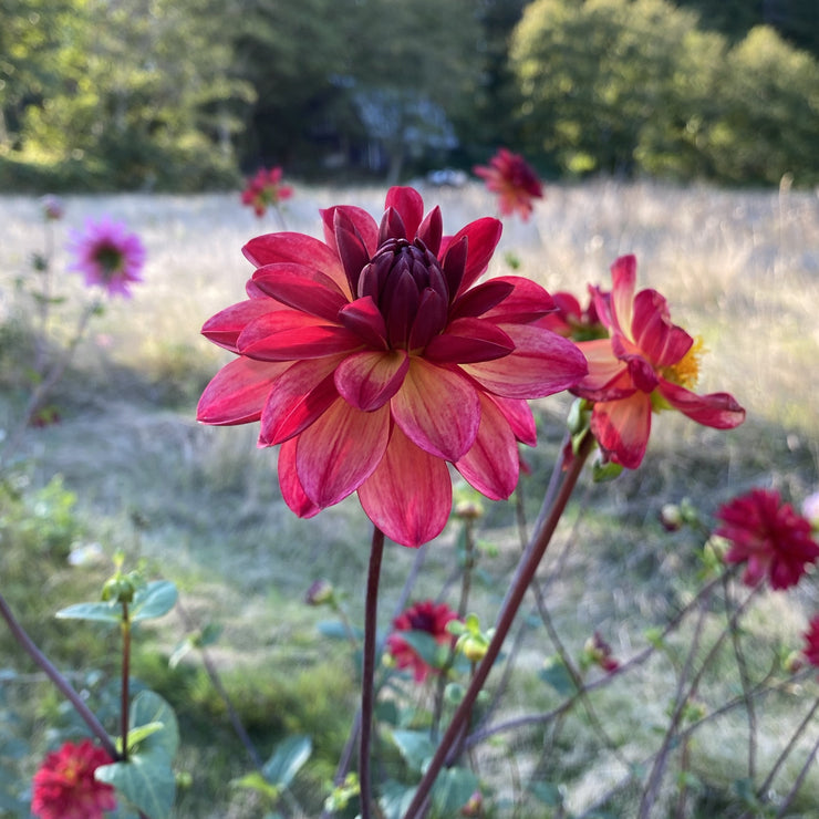 Normandy Painted Pearl Dahlia