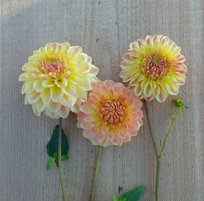 Alpen Sundown Dahlia