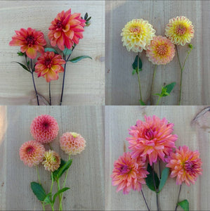 How to Prepare Your Dahlias for the Winter Storage - Includes 3 Dahlia Tubers - October 28