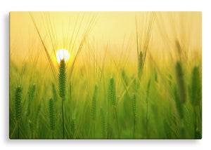 Barley Field at Sunrise