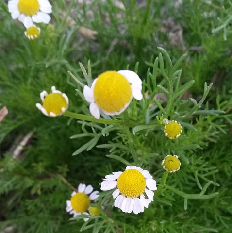 How I use herbs - chamomile