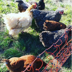 Using electric fence chicken netting (and chicken tractors)
