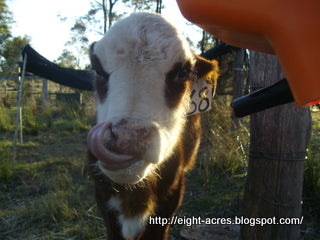 Managing Australian Paralysis Ticks in a Herd of Cattle in South East Queensland