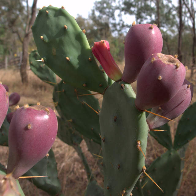 Prickly Pear - weed or useful plant?
