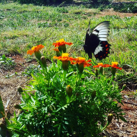 eight acres blog post about food forests - butterfly on marigold flowers