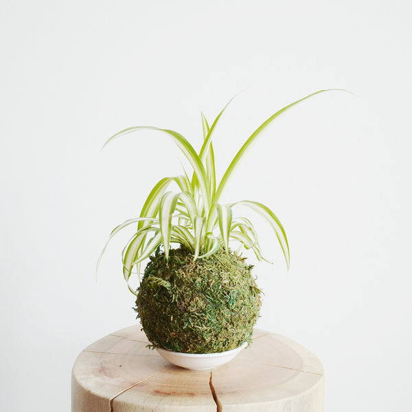 Spider Plant Moss Ball
