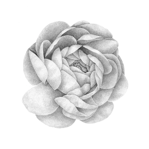 Persian Buttercup Botanical Illustration