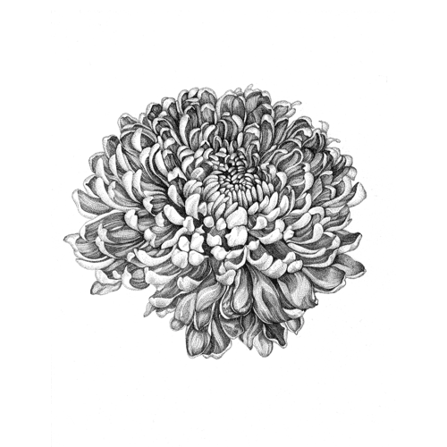 Chrysanthemum Botanical Illustration