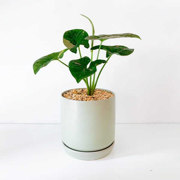 Syngonium 'Pink Splash' in Green Ceramic Pot