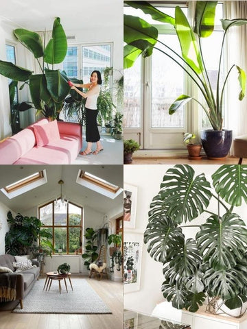 4 picture collage of house plants in living rooms – including Monstera Deliciosa plants, Bird of Paradise Trees, hanging plants, succulents, Chrysalidocarpus plants and other big, leafy greenery. Interior design blog about how to turn your home into a luscious urban jungle by bringing in house plants and greenery. Written by vintage-etc in Cape Town. We make custom made & bespoke tables, benches, free-standing kitchen islands, desks, media units & wardrobes in our Cape Town & Johannesburg workshops – using Oak, Oregon, Ash, Beech, Birch Ply & Meranti. We also sell imported furniture, provide design consulting services & make soft furnishings e.g. sofas & upholstered chairs in linen, velvet & stain resistant fabric.